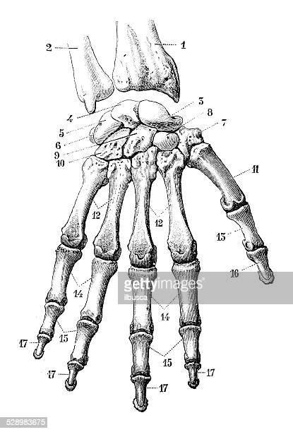antique medical scientific illustration high-resolution: hand bones - wrist stock illustrations, clip art, cartoons, & icons