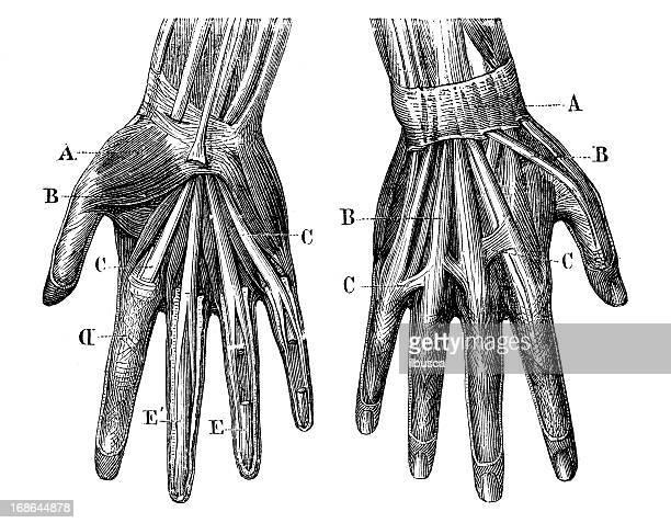 antikes medizinische wissenschaftliche illustrationen hoher auflösung: hände muskeln - human body part stock-grafiken, -clipart, -cartoons und -symbole