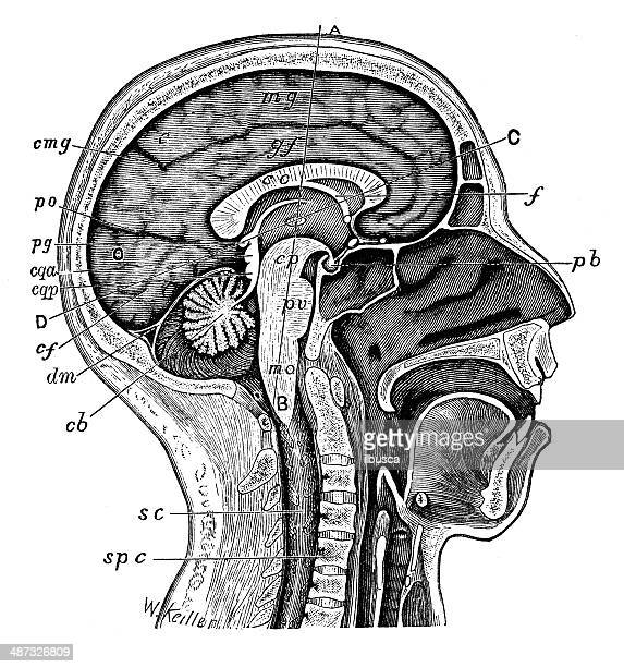 Antique medical scientific illustration high-resolution: head section