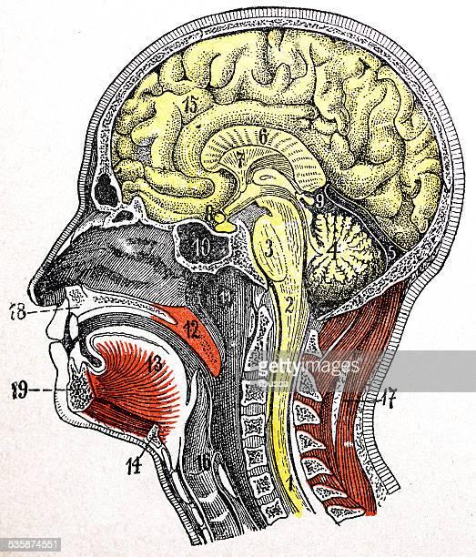 antique medical scientific illustration high-resolution: head section - neurosurgery stock illustrations, clip art, cartoons, & icons