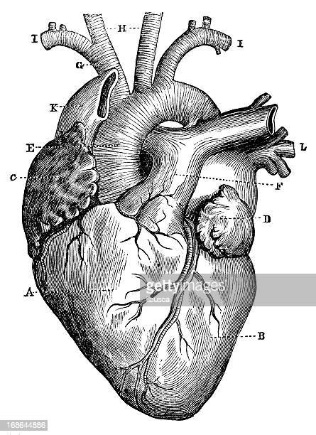 antique medical scientific illustration high-resolution: heart - anatomy stock illustrations