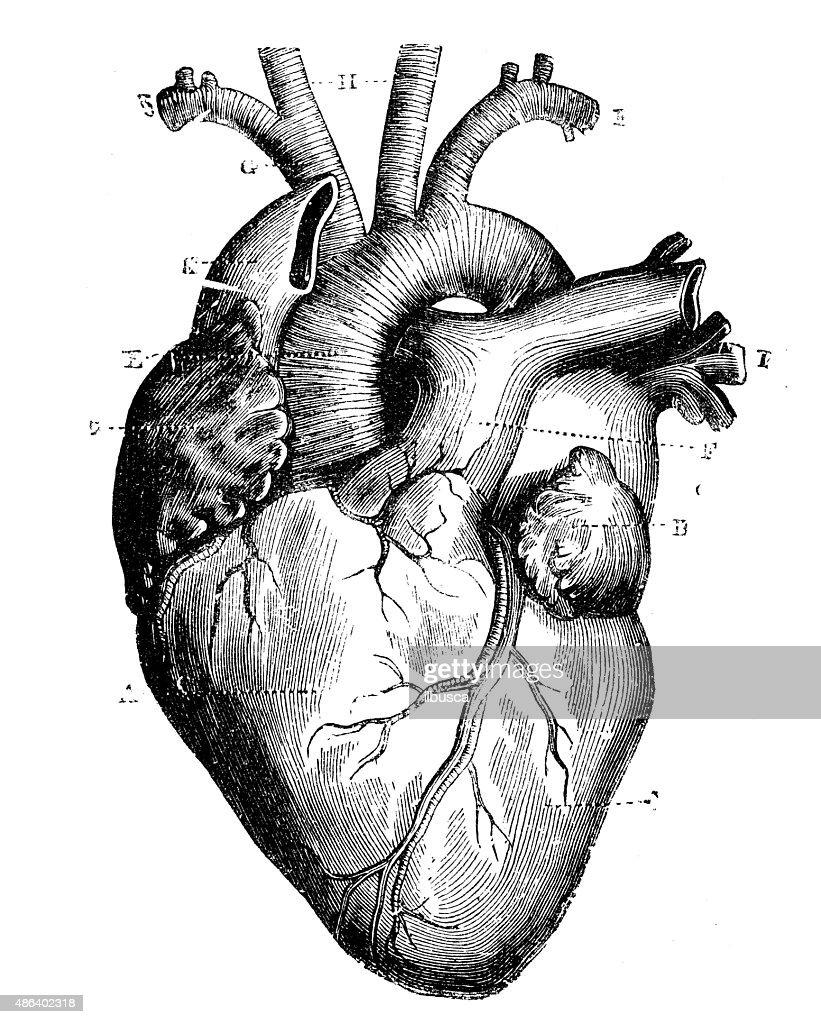 Anticuario Científica Médica ilustración de alta resolución: Corazón : Ilustración de stock