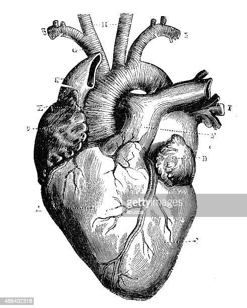antique medical scientific illustration high-resolution: heart - 人體部分 幅插畫檔、美工圖案、卡通及圖標