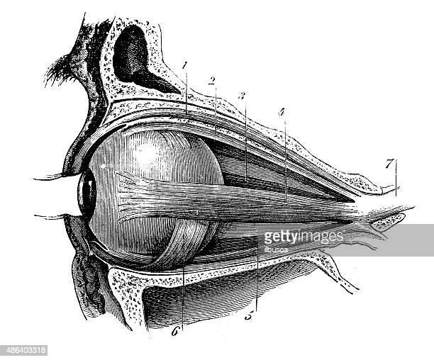 antique medical scientific illustration high-resolution: human eye - choroid stock illustrations, clip art, cartoons, & icons