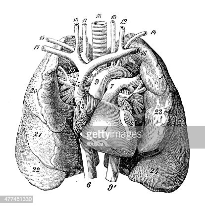 Antique Medical Scientific Illustration Highresolution Human Organs