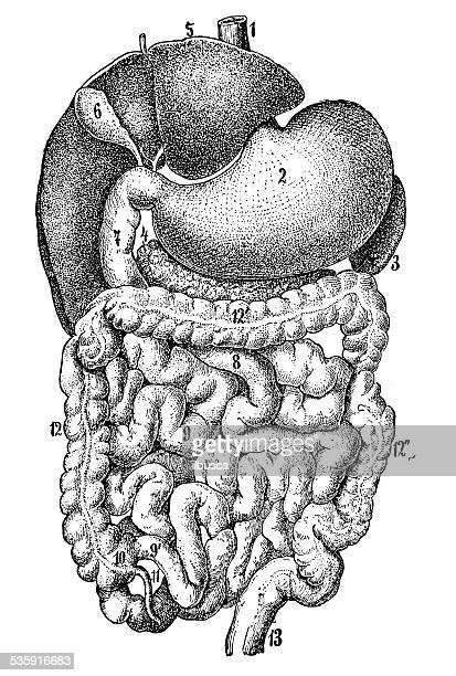 Antique medical scientific illustration high-resolution: human organs