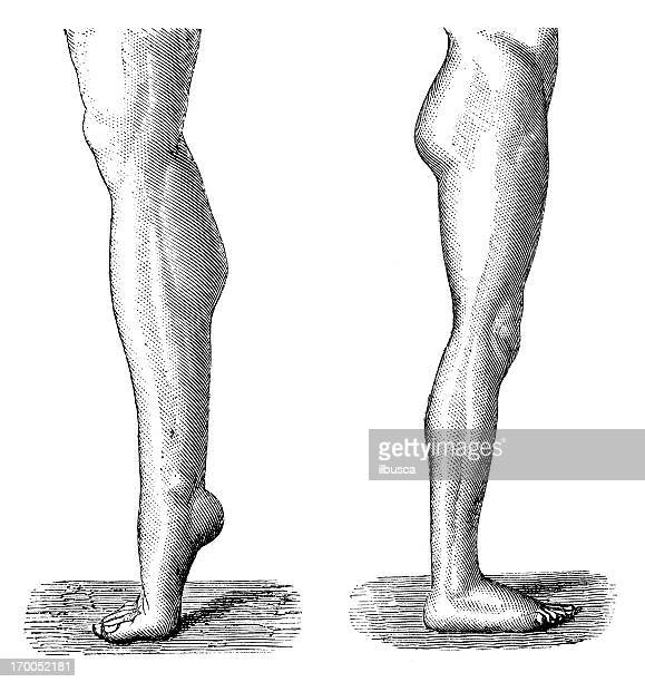 Antique medical scientific illustration high-resolution: legs