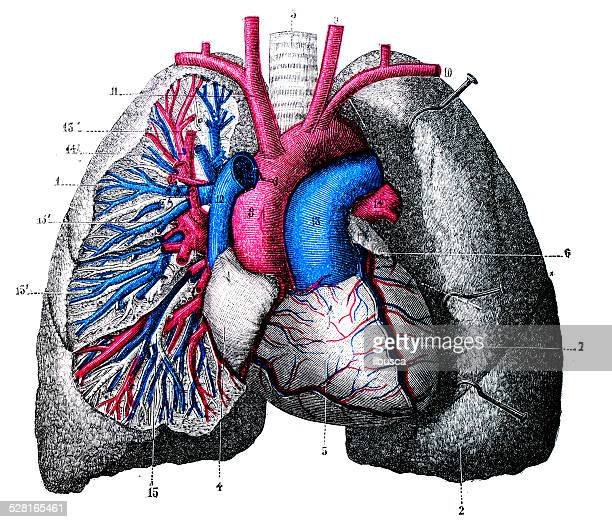antique medical scientific illustration high-resolution: lung veins and arteries - biomedical illustration stock illustrations