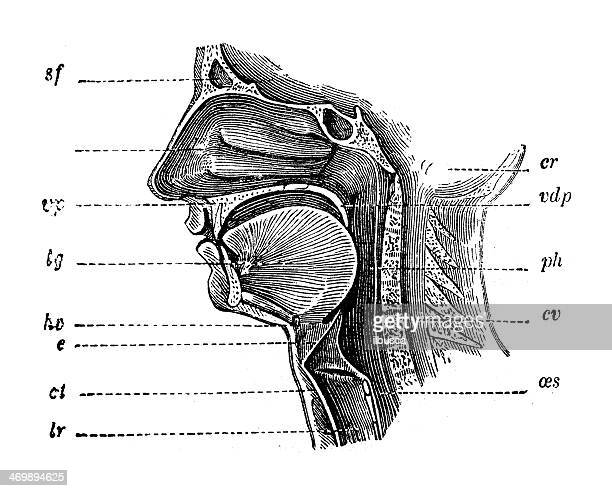antique medical scientific illustration high-resolution: mouth section - human mouth stock illustrations, clip art, cartoons, & icons