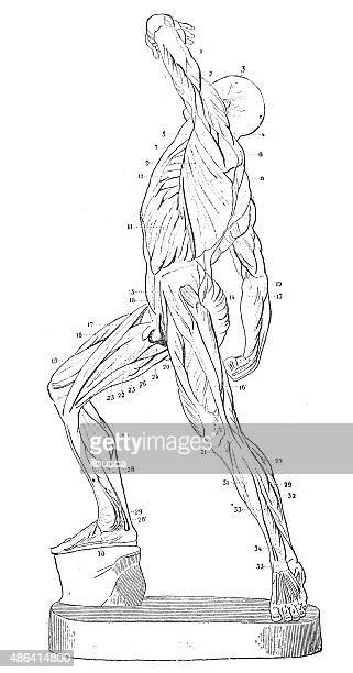 antique medical scientific illustration high-resolution: muscles - human back stock illustrations