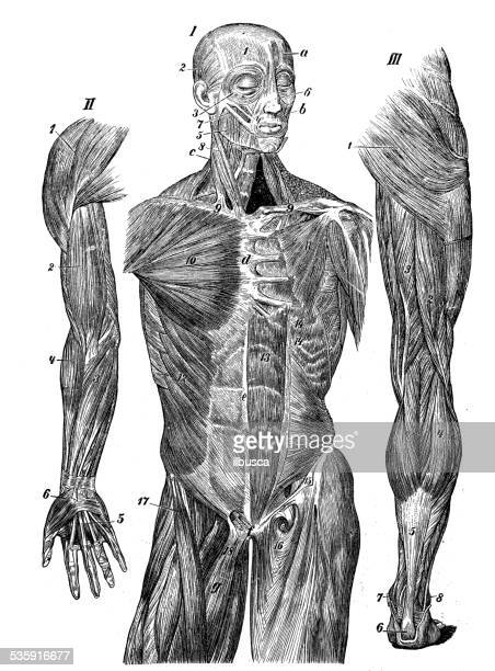 stockillustraties, clipart, cartoons en iconen met antique medical scientific illustration high-resolution: muscles - ledematen lichaamsdeel