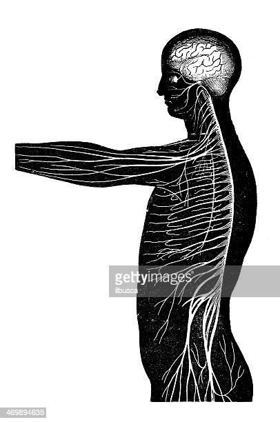 antique medical scientific illustration high-resolution: nervous system - neurosurgery stock illustrations, clip art, cartoons, & icons