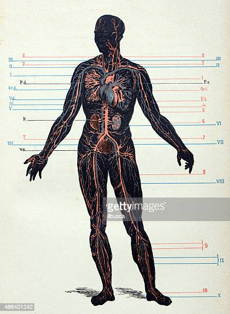 antique medical scientific illustration high-resolution: nervous system - the human body stock illustrations