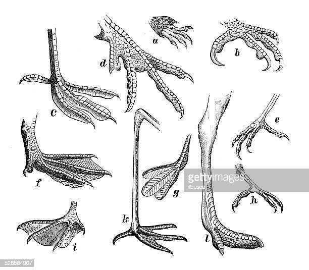 antikes medizinische wissenschaftliche illustrationen hoher auflösung: mehrere bird beine und füße claws - gliedmaßen körperteile stock-grafiken, -clipart, -cartoons und -symbole