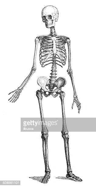 ilustraciones, imágenes clip art, dibujos animados e iconos de stock de anticuario científica médica ilustración de alta resolución: skeleton - esqueleto humano