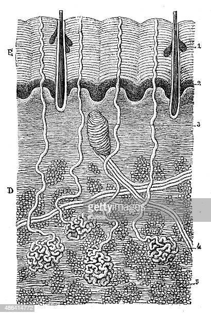 Antique medical scientific illustration high-resolution: Skin section