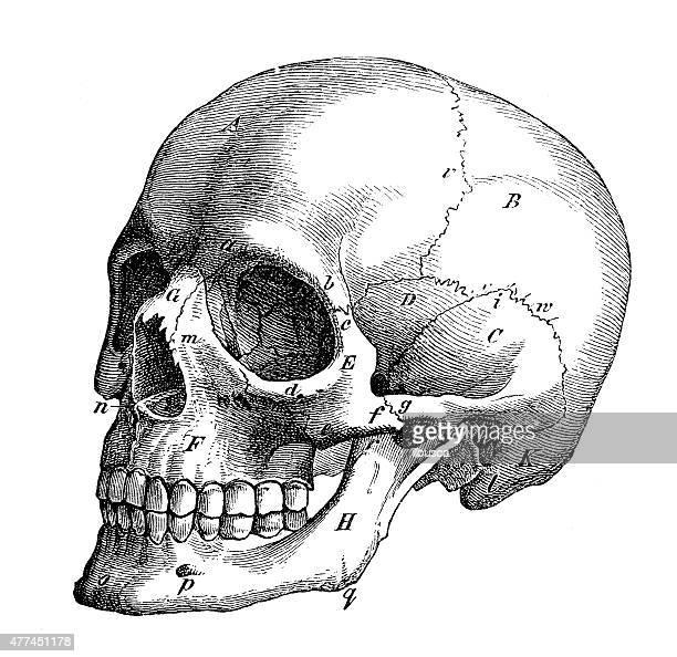 antique medical scientific illustration high-resolution: skull profile - human skull stock illustrations