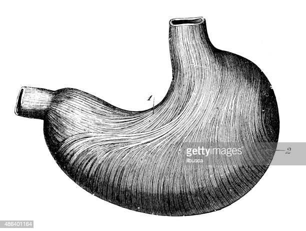 antique medical scientific illustration high-resolution: stomach - abdomen stock illustrations