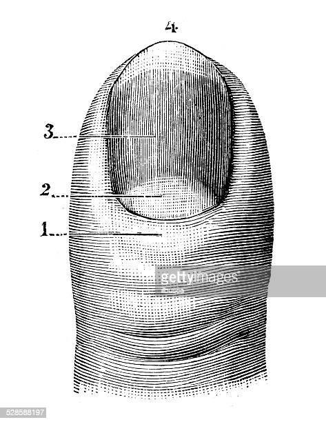 Antique medical scientific illustration high-resolution: thumb nail