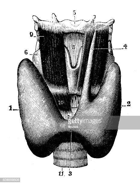 antique medical scientific illustration high-resolution: thyroid gland - thyroid gland stock illustrations, clip art, cartoons, & icons