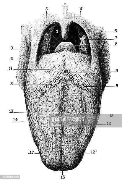 antique medical scientific illustration high-resolution: tongue - tongue stock illustrations, clip art, cartoons, & icons
