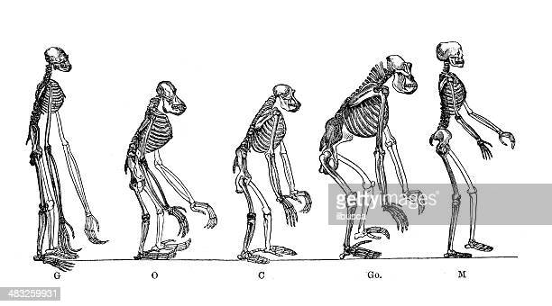 Antique medical scientific illustration: skeletons of anthropoid apes and man