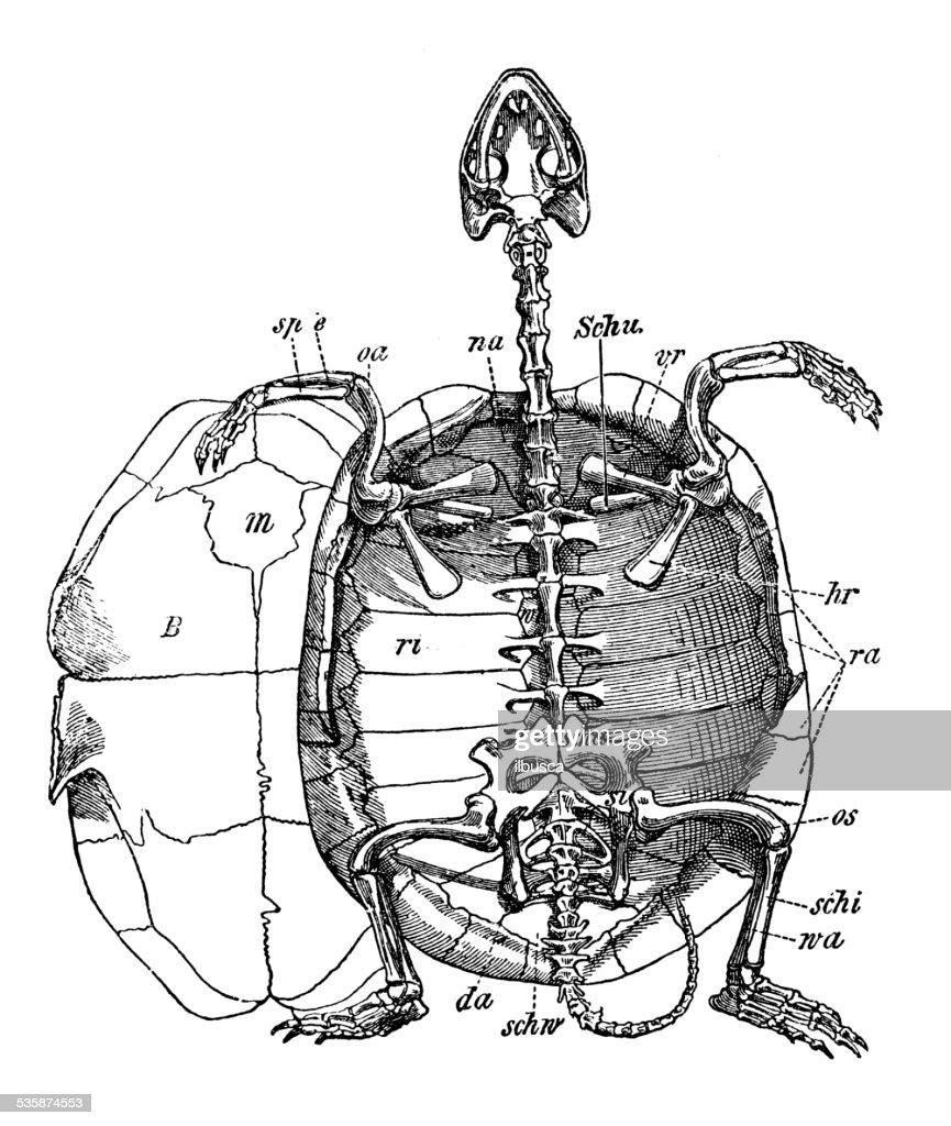 Turtle Skeleton Diagram Trusted Wiring Snake Antique Medical Scientific Illustration Stock Rh Gettyimages Com Alligator