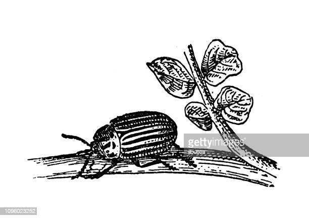 Antique old French engraving illustration: Colorado potato beetle (Leptinotarsa decemlineata)