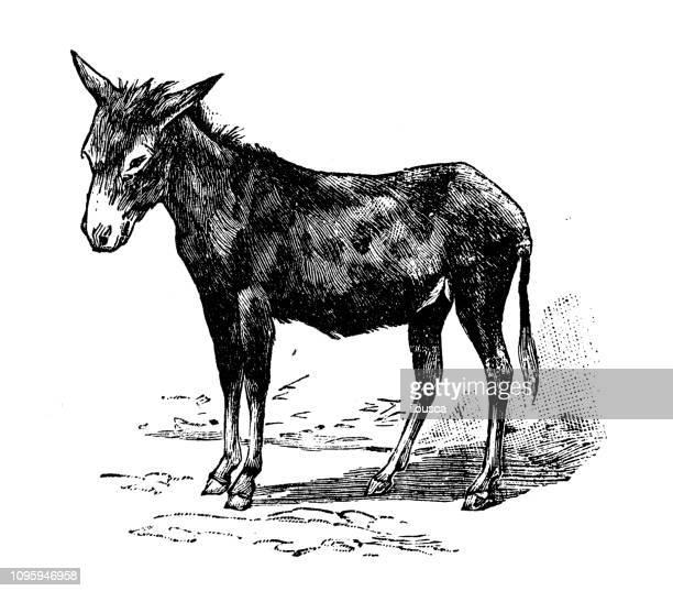 ilustraciones, imágenes clip art, dibujos animados e iconos de stock de antigua ilustración francesa grabado antiguo: burro - donkey