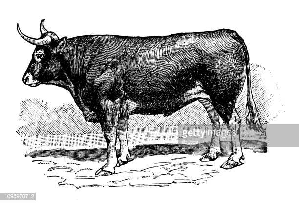 antique old french engraving illustration: ox - wild cattle stock illustrations, clip art, cartoons, & icons
