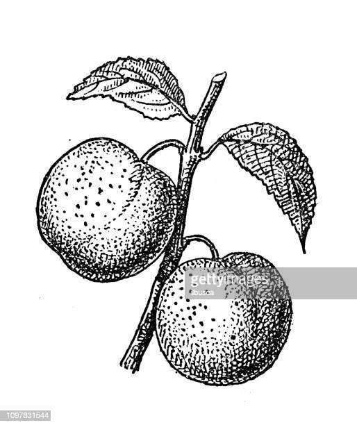 Antique old French engraving illustration: Plum