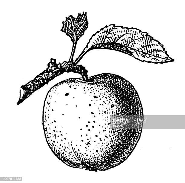 ilustraciones, imágenes clip art, dibujos animados e iconos de stock de antigua ilustración francesa grabado antiguo: manzana reineta - manzano