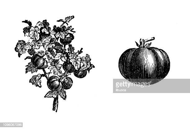 アンティークの古いフランス語彫刻イラスト: トマト - 古典様式点のイラスト素材/クリップアート素材/マンガ素材/アイコン素材