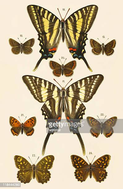 antique print of european butterflies studied for evolution theory - lithograph stock illustrations