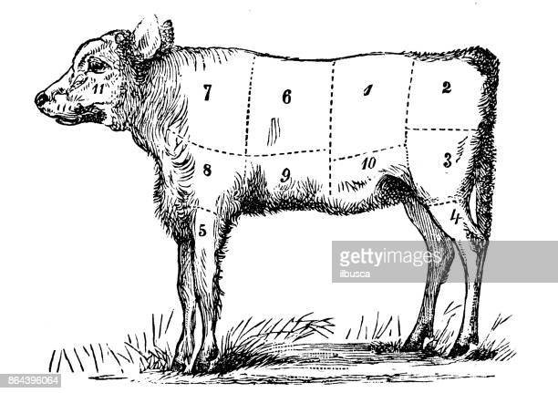 antique recipes book engraving illustration: veal sections - fillet stock illustrations, clip art, cartoons, & icons