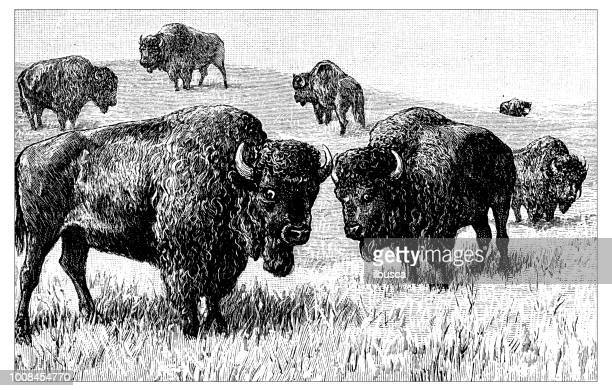antique scientific engraving illustration: bisons - african buffalo stock illustrations, clip art, cartoons, & icons