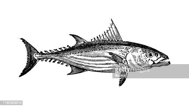 ilustraciones, imágenes clip art, dibujos animados e iconos de stock de ilustraciones de grabado de animales marinos antiguos: bonito atún - bonito del norte