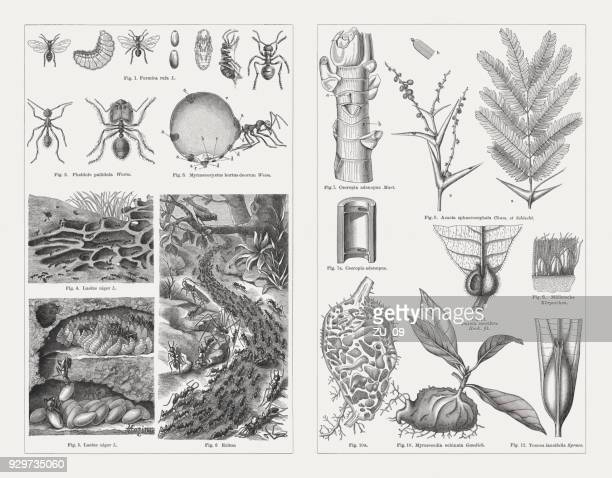 Ants and myrmecophyte, wood engravings, published in 1897