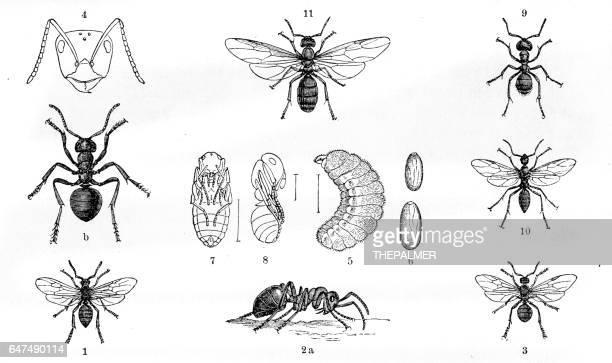 ilustraciones, imágenes clip art, dibujos animados e iconos de stock de hormigas grabado 1884 - hormiga