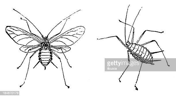 aphid (macrosiphum rosae) - aphid stock illustrations