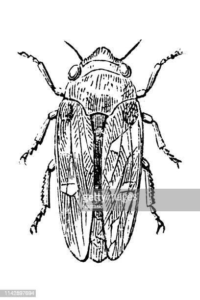 illustrations, cliparts, dessins animés et icônes de aphrophora spumaria - cigale