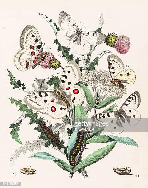 Apollo butterflies engraving 1853