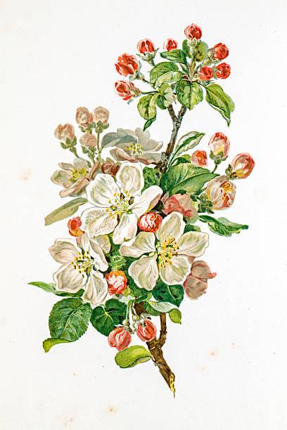 Apple Blossom 19 Century Illustration Wall Art