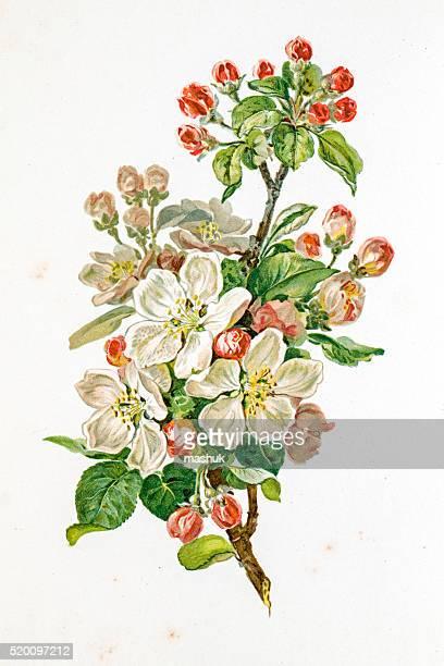 Apple Blossom 19 siècle illustration