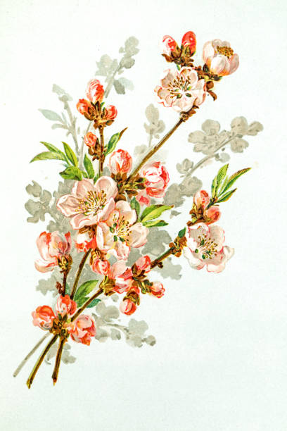 Apple Blossom 19 Century Illustration Wall Art