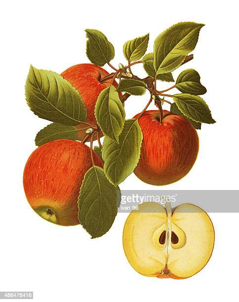 apple - apple fruit stock illustrations