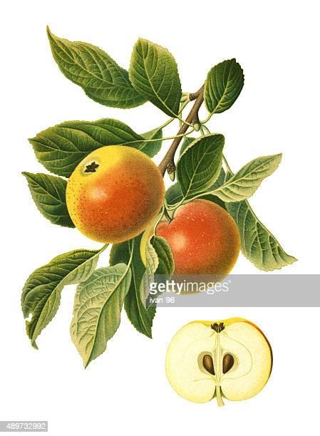 ilustraciones, imágenes clip art, dibujos animados e iconos de stock de manzanas - botánica