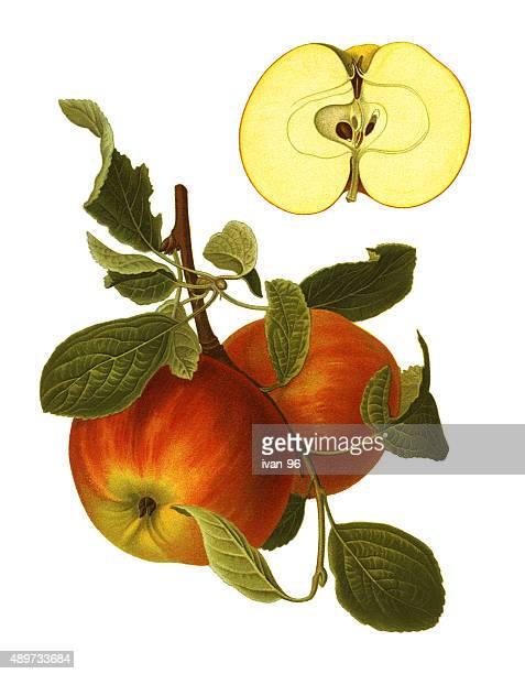 apples - apple tree stock illustrations