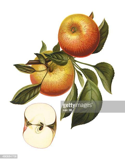 apples - apple fruit stock illustrations