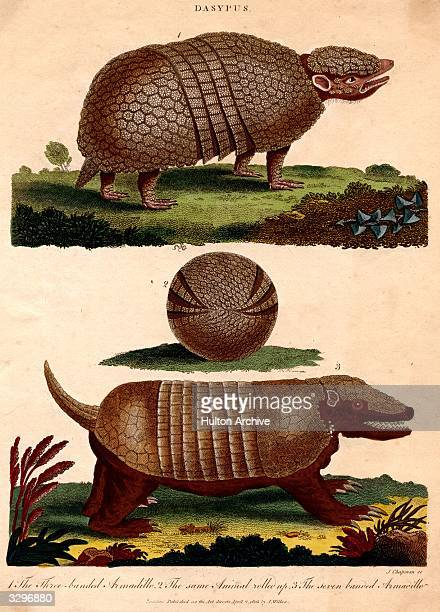 The cheerful threebanded armadillo top the same animal curled up middle and a sevenbanded armadillo wagging his tail